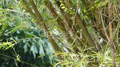A well grown cluster of bamboo plants (BAMBOO--2C)