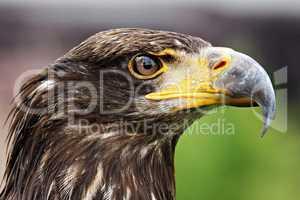 Weisskopfseeadler jungtier