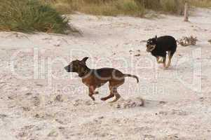 spielende hunde am strand