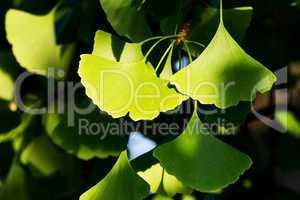 Ginkgo biloba green leaves on a tree