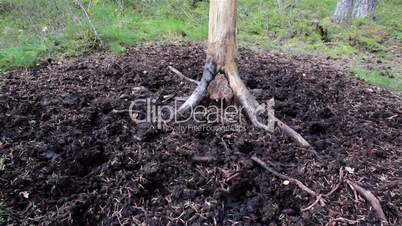 Sus scrofa the wild boar closer image of the eated roots growing out of the ground