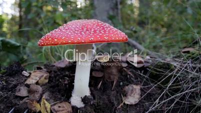 Image of the spotted Amanita Muscaria fly agaric mushroom and withered leaves o ground