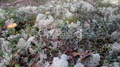 In the middle of the grassy area Reindeer lichen Cladina cladonia lactarius rufus a mushroom