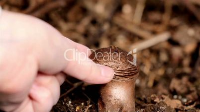 Squeezing brown Lycoperdon perlatum common puffballfood mushroom spores