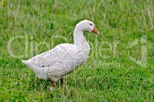 goose white on a background of grass