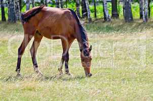 young bay horse grazing in the meadow