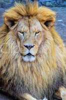 dangerous lion