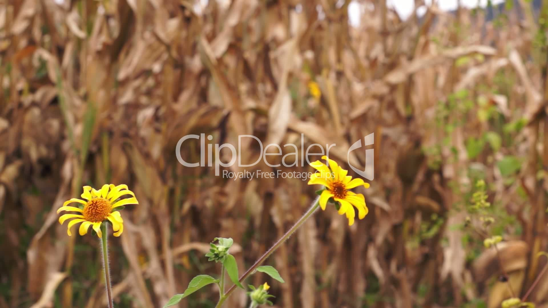 Dry Corn With Yellow Flowers Dolly Royalty Free Video And Stock Footage
