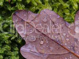eichenblatt mit wassertropfen