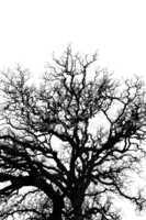 oak tree branches silhouette