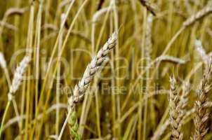 ear of wheat in a wheat field
