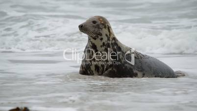 female grey seal watch attentive her pup 11229