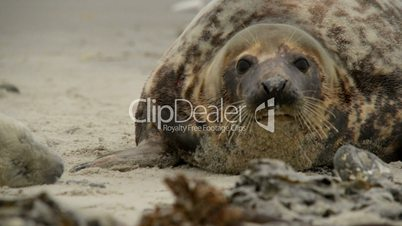 female grey seal smells at her pup 11230