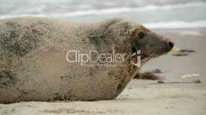 grey seal rolling in the sand 11231