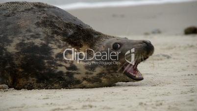 agressiv female grey seal defend their territory 11233
