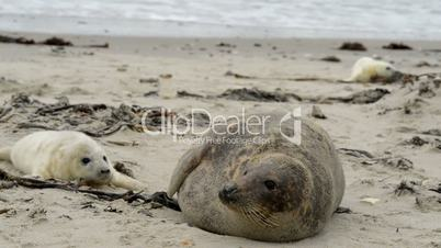 grey seal mother with pup 11236