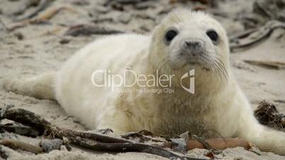 sweet little grey seal pup 11237