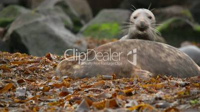 young grey seals measure their forces 11238