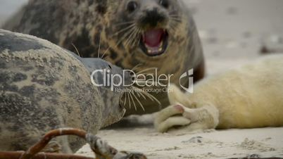 grey seal mother protects her pup 11239