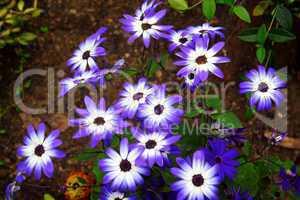 blaue Margerithenblumen