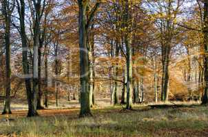 beech forest in late autumn