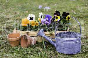 stiefmütterchen im korb, pansies in a basket