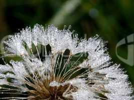 Löwenzahn Pusteblume mit Wassertropfen Morgentau