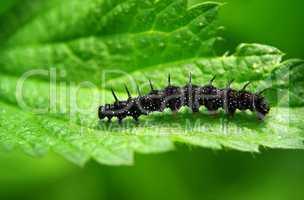Raupe eines Schmetterlings Tagpfauenauge