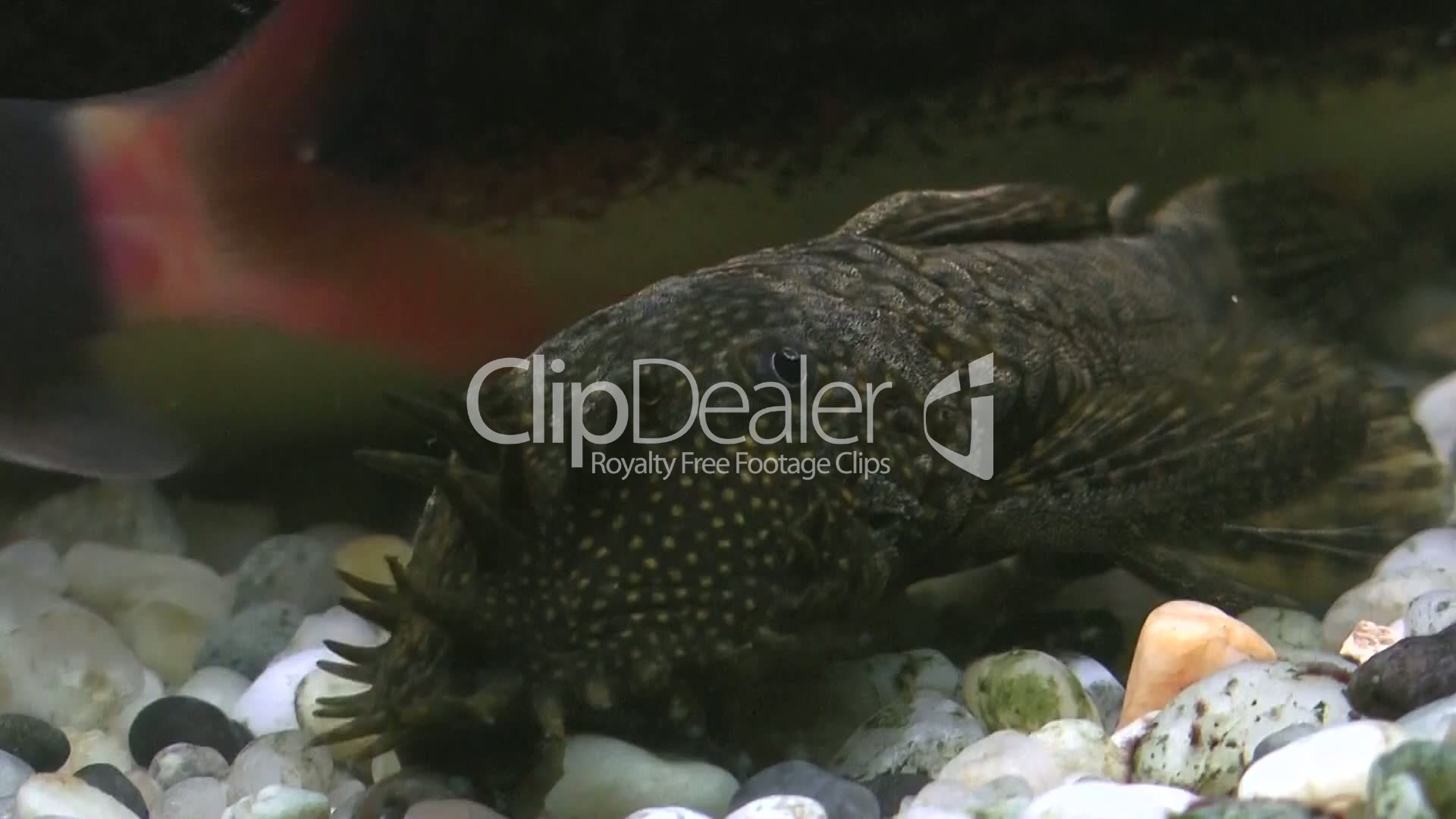 Aquarium With Ugly Fish Royalty Free Video And Stock Footage