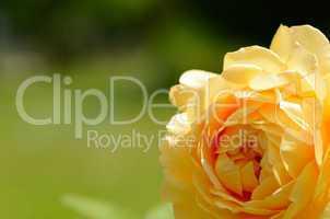 gelbe rose grossansicht