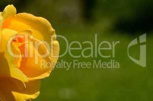 gelbe rose auf gruen