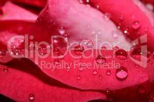 regentropfen auf rose