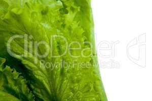 leaf lettuce close-up