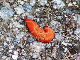 Rote Schnecke