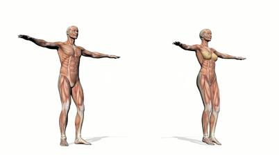 Male and female muscles - 3D render