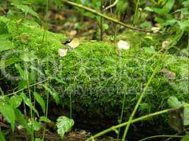 Moos im Wald mit Tannennadeln