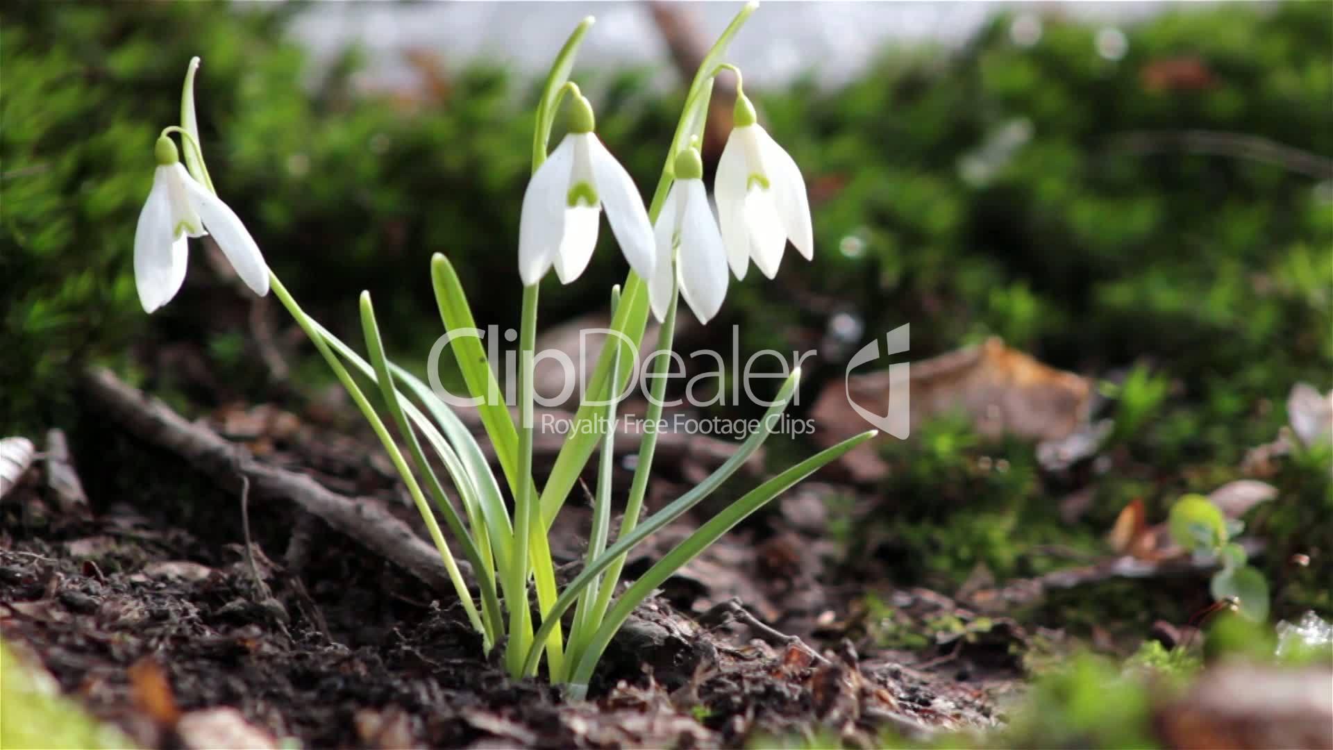 Beautiful Spring Flowers Snowdrop Wild Flowers In The Snow Wild