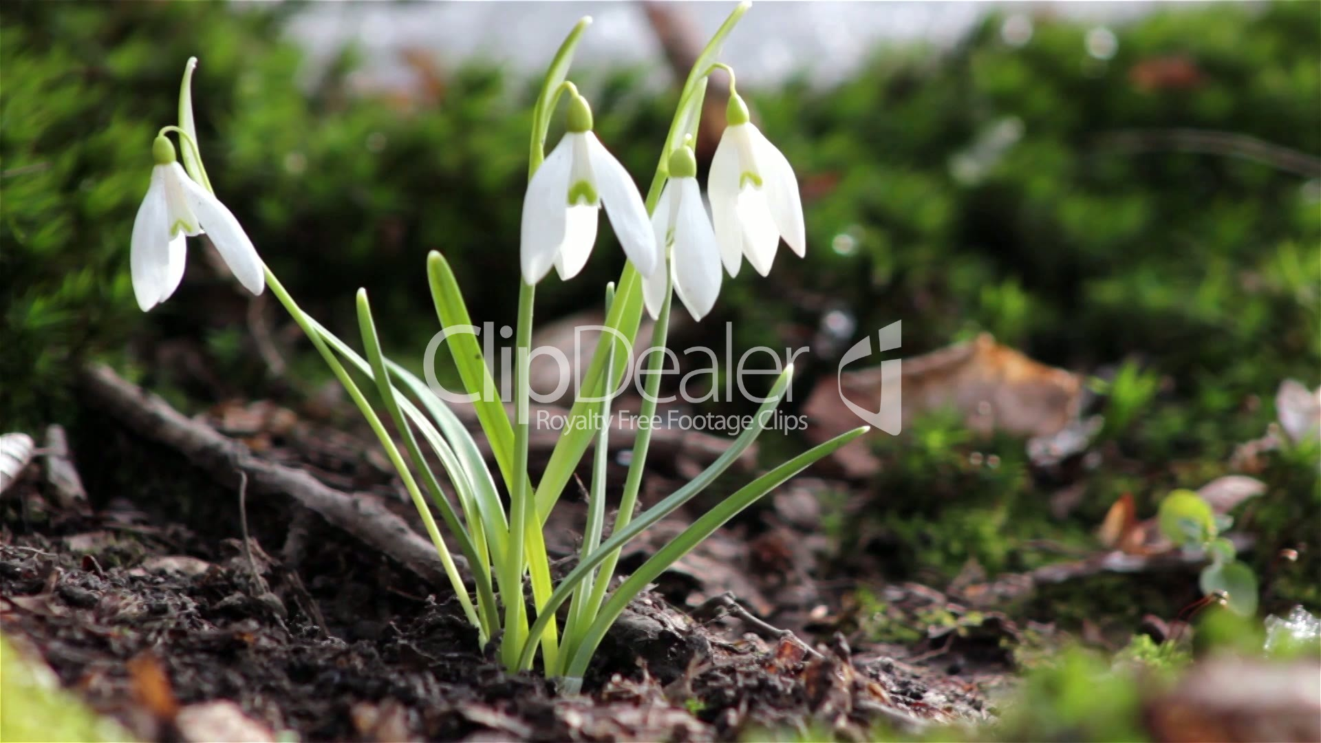 Beautiful Spring Flowers Snowdrop Wild Flowers In The Snow Wild