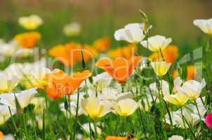 kalifornischer mohn - california poppy 19