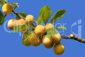 yellow plum branch
