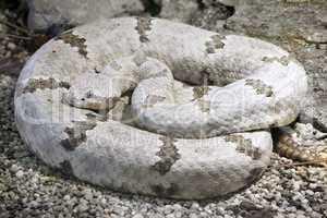 tamaulipan rock rattlesnake