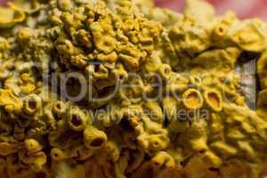 gewöhliche gelbflechte