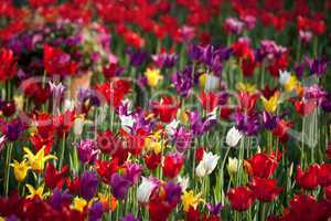 multicolor tulips in sun spring day