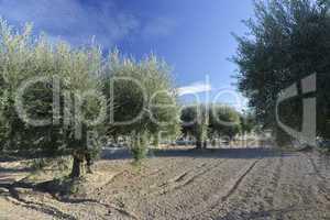 olive tree plantation olivenbaumplantage