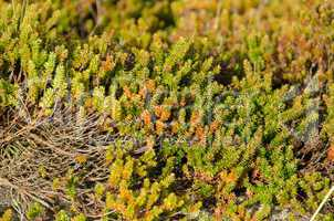 empetrum or crowberry