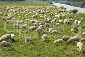 schafherde, flock of sheep
