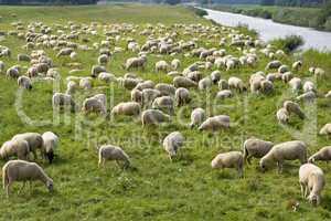 schafherde, flock of sheep