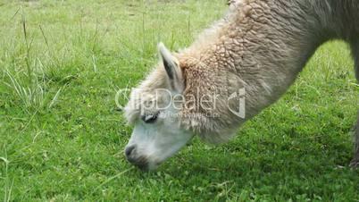 llama eating green grass