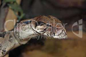 Close up of tiger python