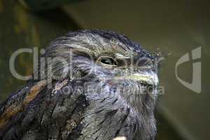 little owl in natural habitat (athene noctua)